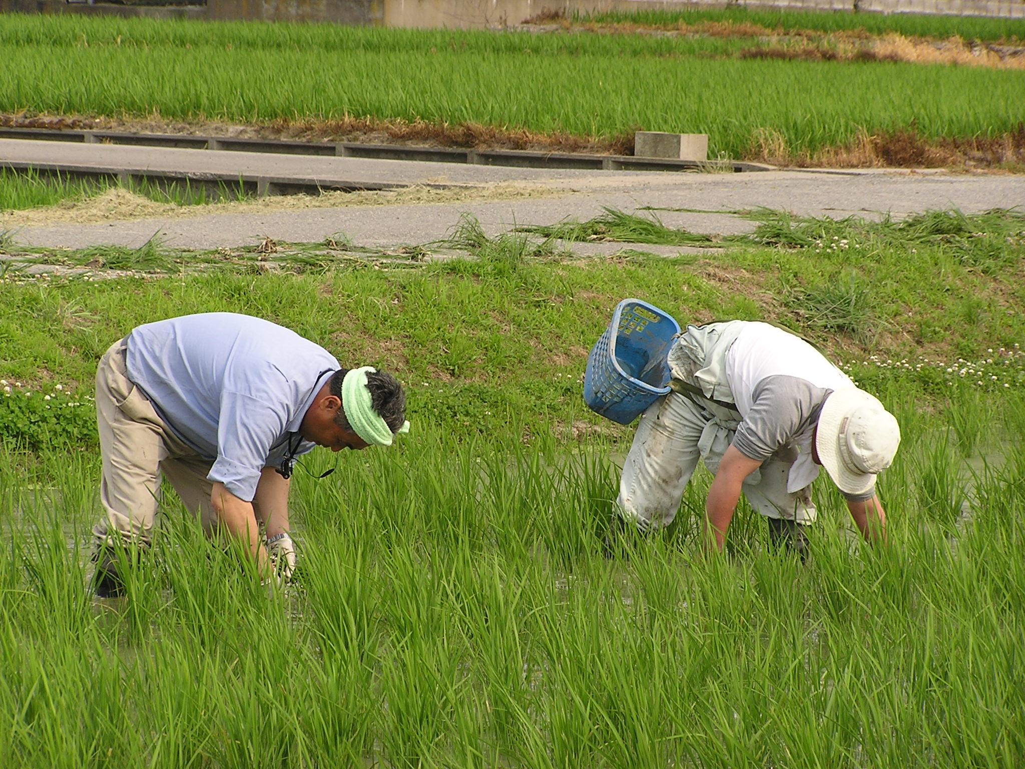 暑い中、草取りです | 自然栽培...