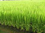 稲の様子で~す (*^_^*)