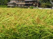 稲も色づき始めました