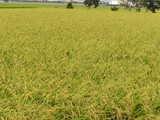 まもなく稲刈りが始まります。(^o^)