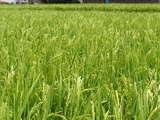 猛暑の中、穂がそろってきました。(^^)/~~~