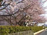 桜23.4.13.JPG